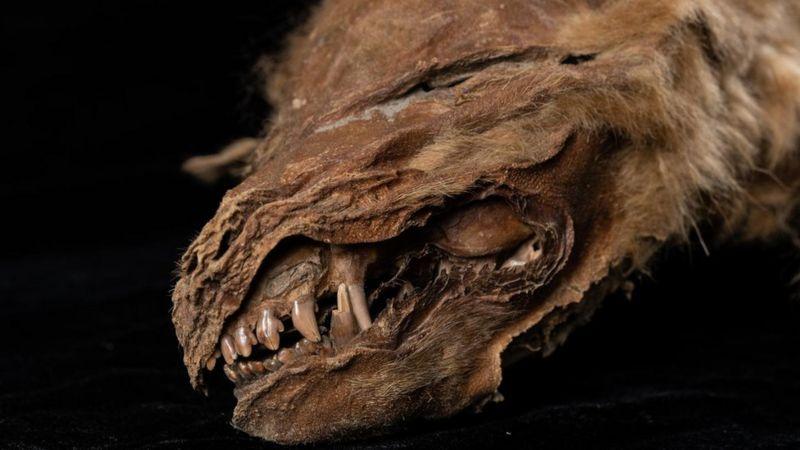 اكتشاف ذئب محنط من قبل 56 ألف عام