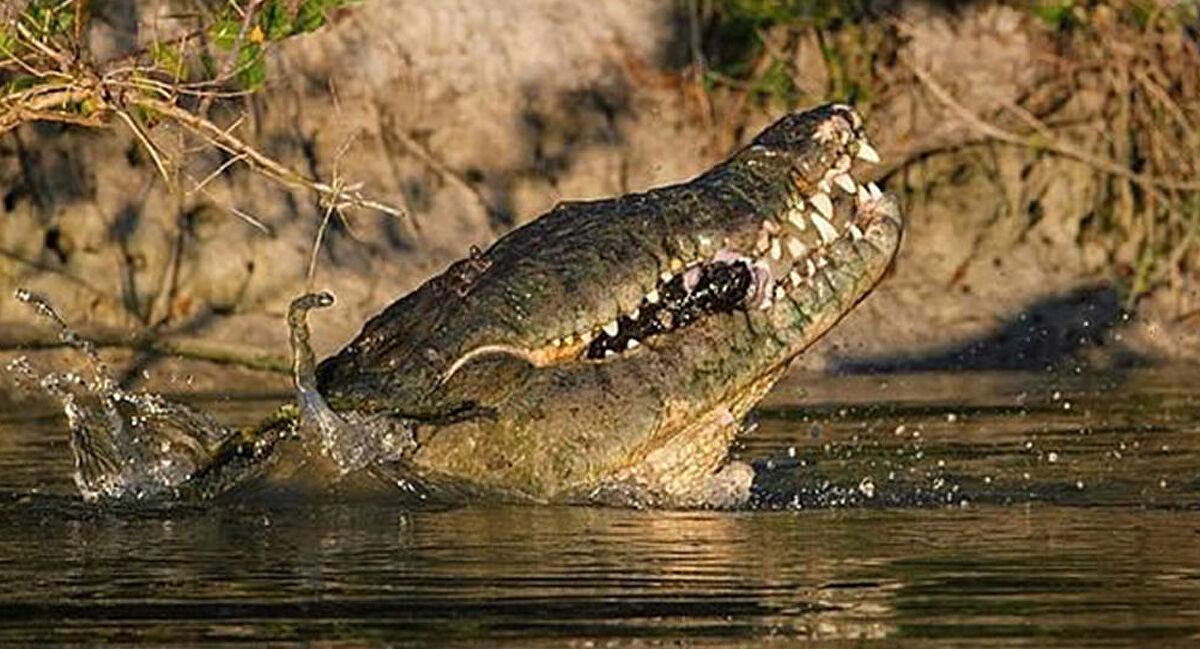 مشهد يحبس الانفاس : تمساح يفترس  فهد